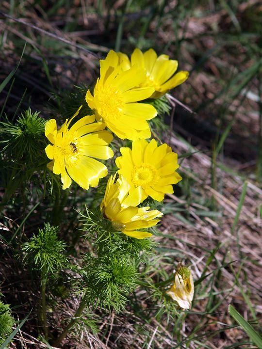 Скачать фото весенних цветов – адонис