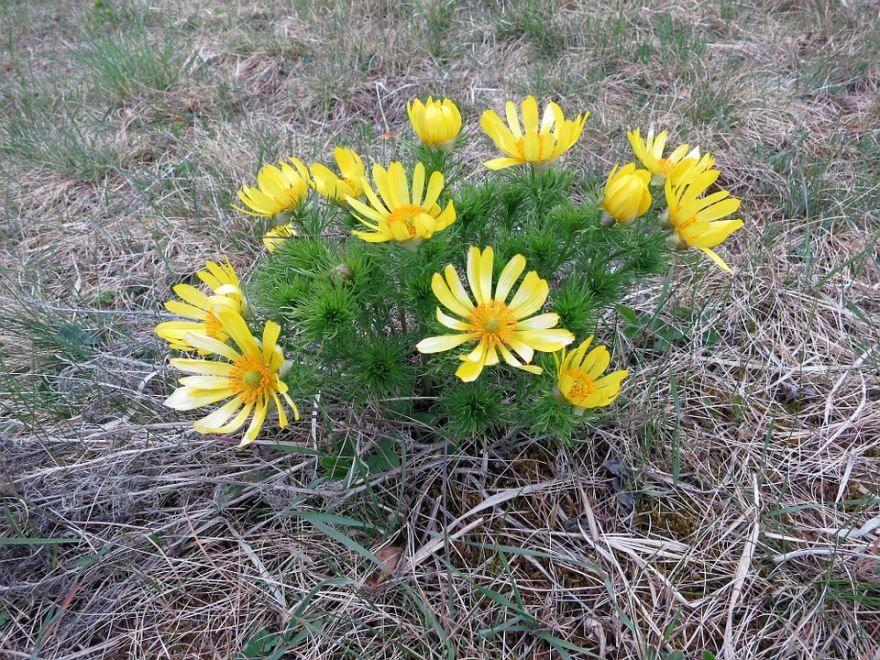 Фото цветков адониса бесплатно