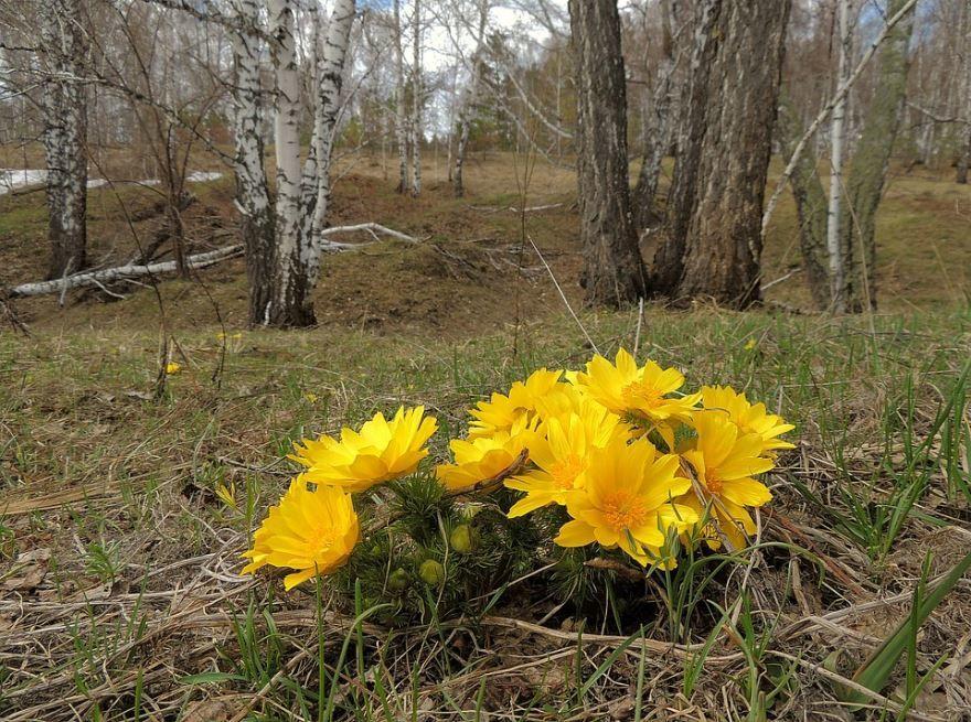 Фото растения адонис из Москвы