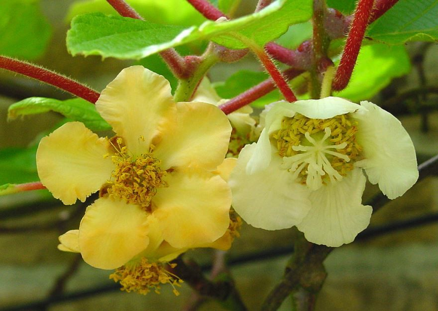 Красивые фото актинидий аргута  – цветов для хорошего букета