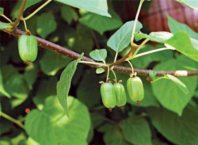 Фото цветов актинидии, которые сажают в открытый грунт