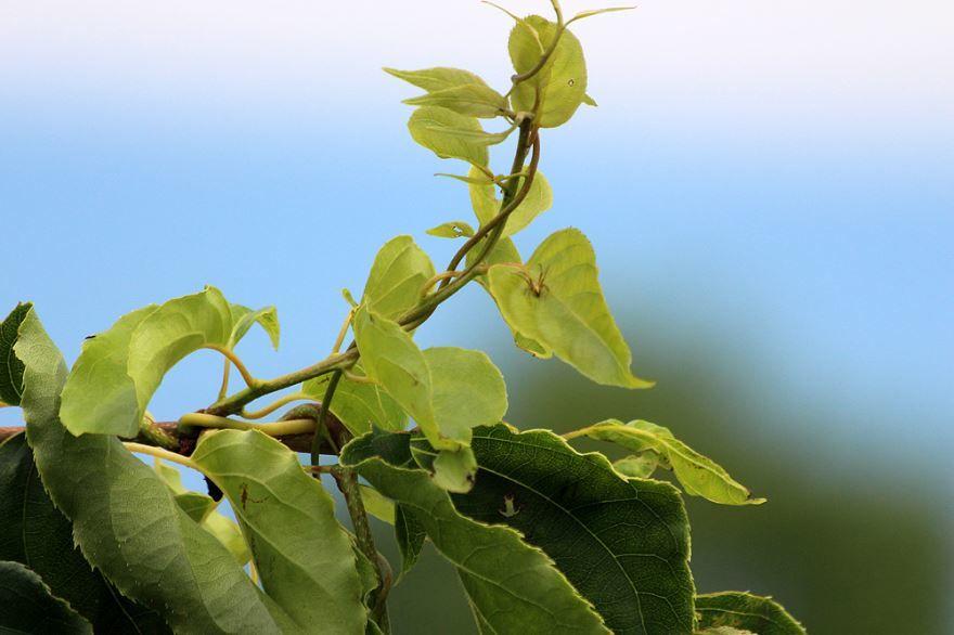 Скачать фото цветов актинидии в хорошем качестве