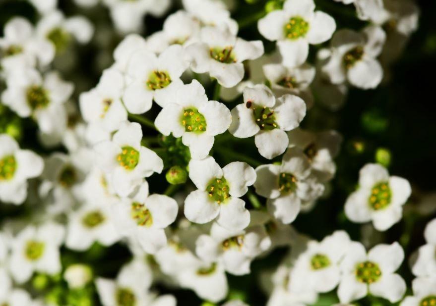Фото многолетних цветов алиссум