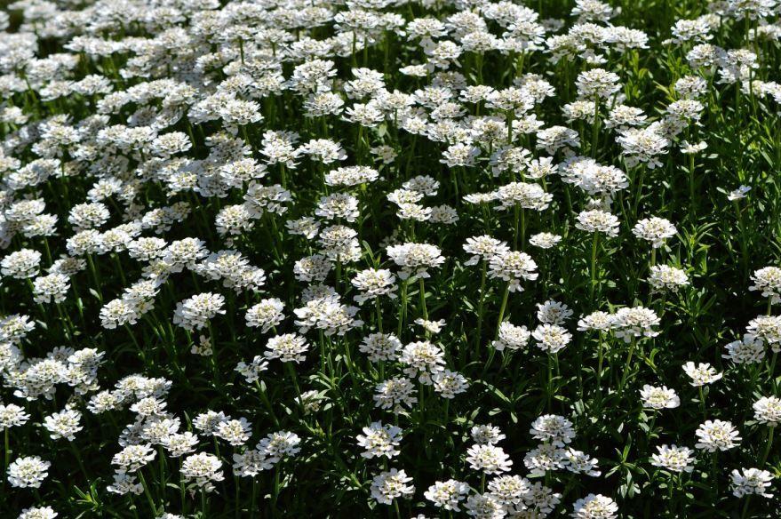 Фото цветов алиссум для открытого грунта
