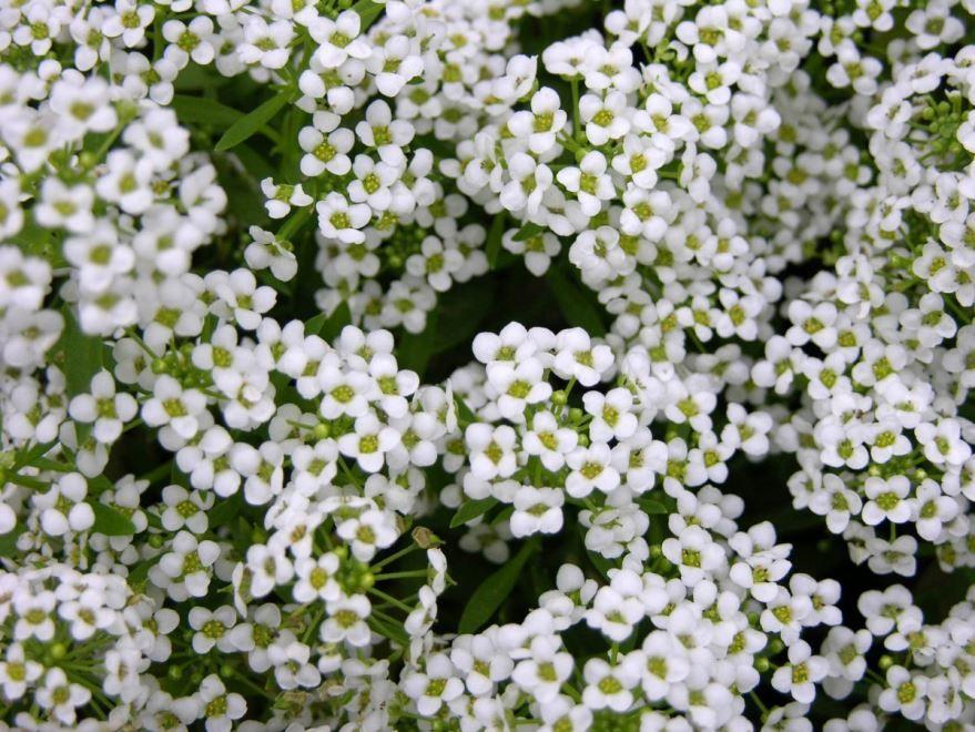 Выращивание растений алиссум в домашних условиях
