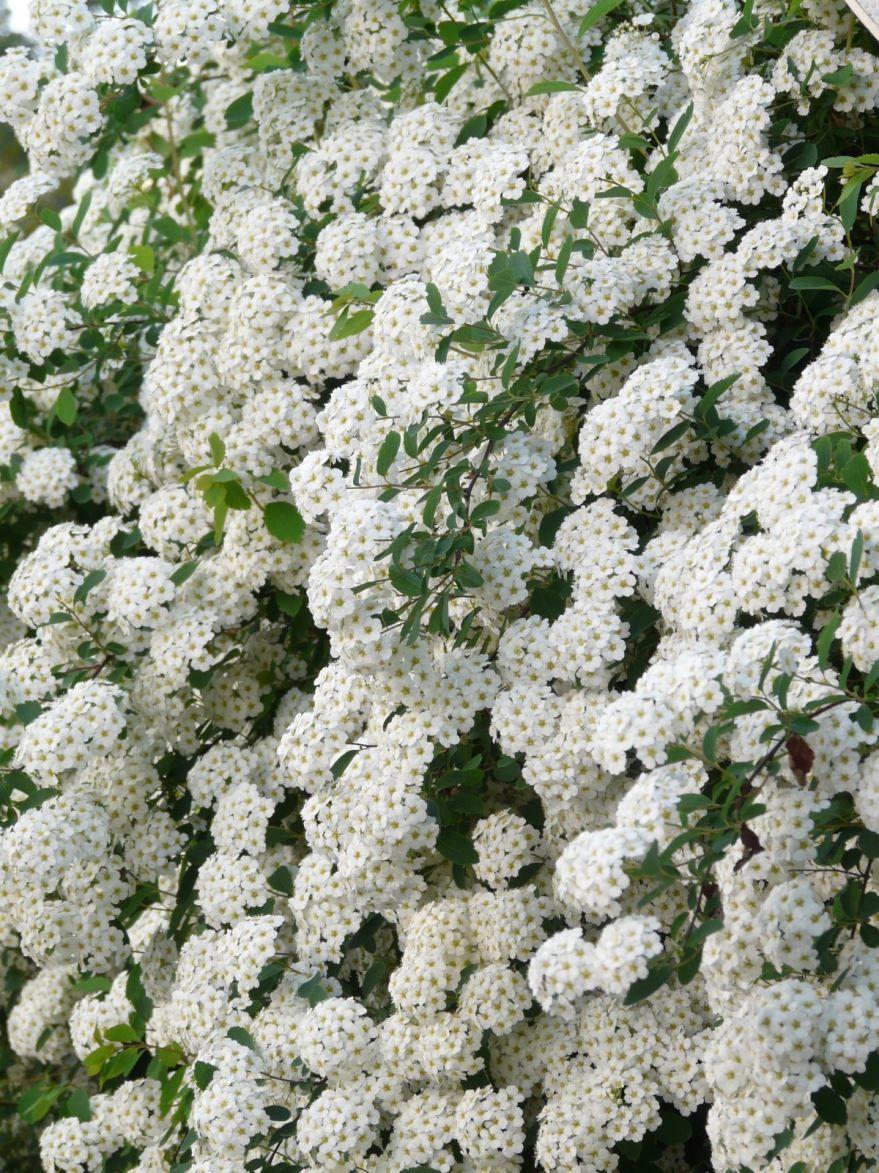 Фото однолетнего цветка – алиссум