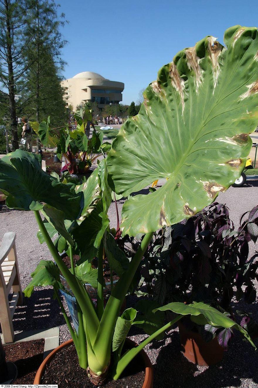 Фото комнатного растения – лечебной алоказии