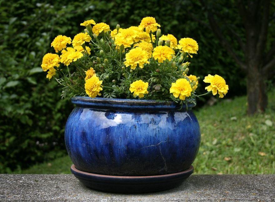 Фото растения амаранта с лечебными свойствами