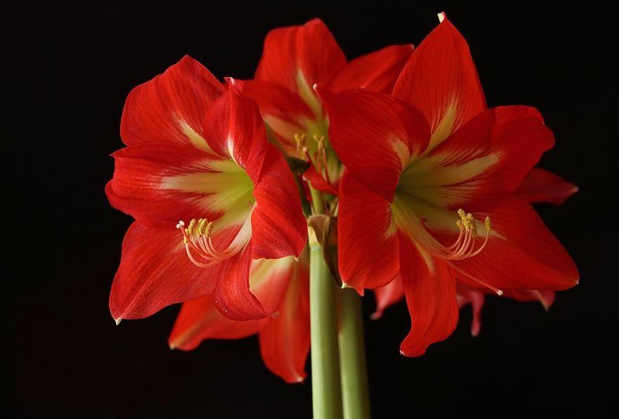 Фото цветков амариллис в домашних условиях