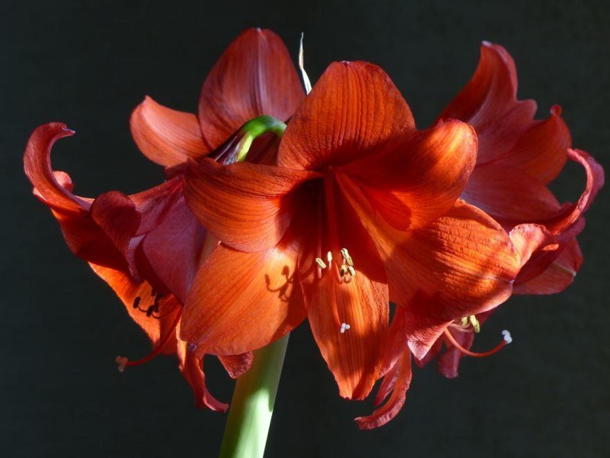 Посадка цветков амариллис в комнатных условиях