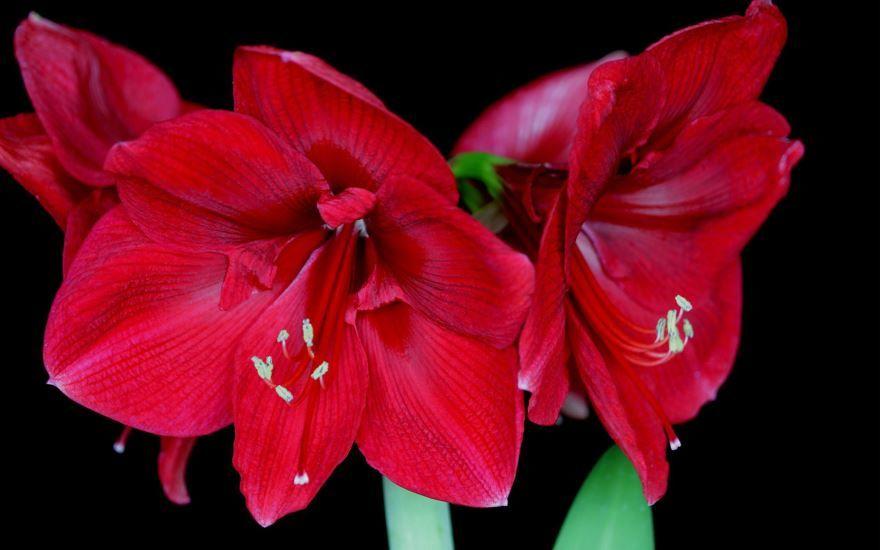 Фото растения амариллис в хорошем качестве