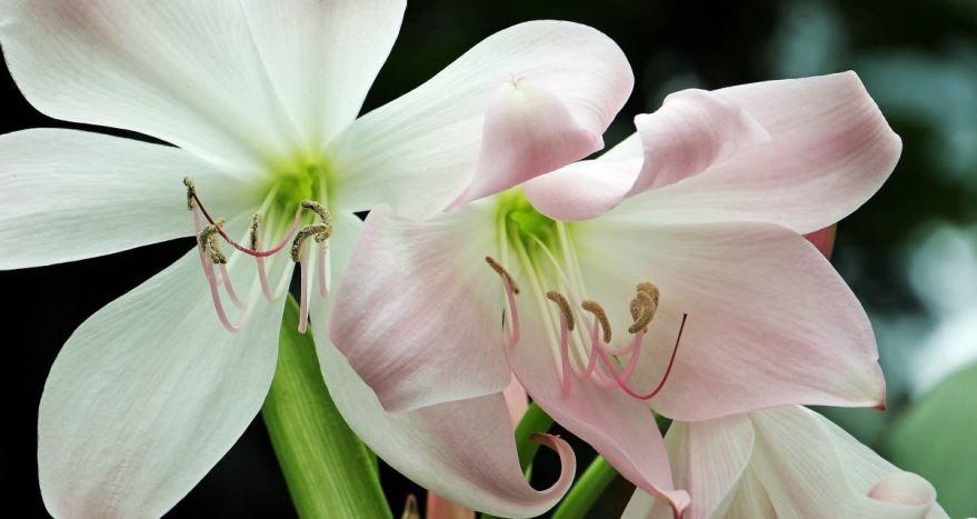 Фото цветков амариллис из Вьетнама