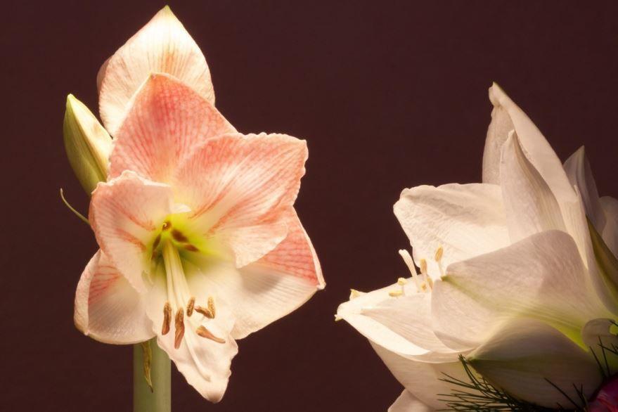 Осенние фото цветков амариллис