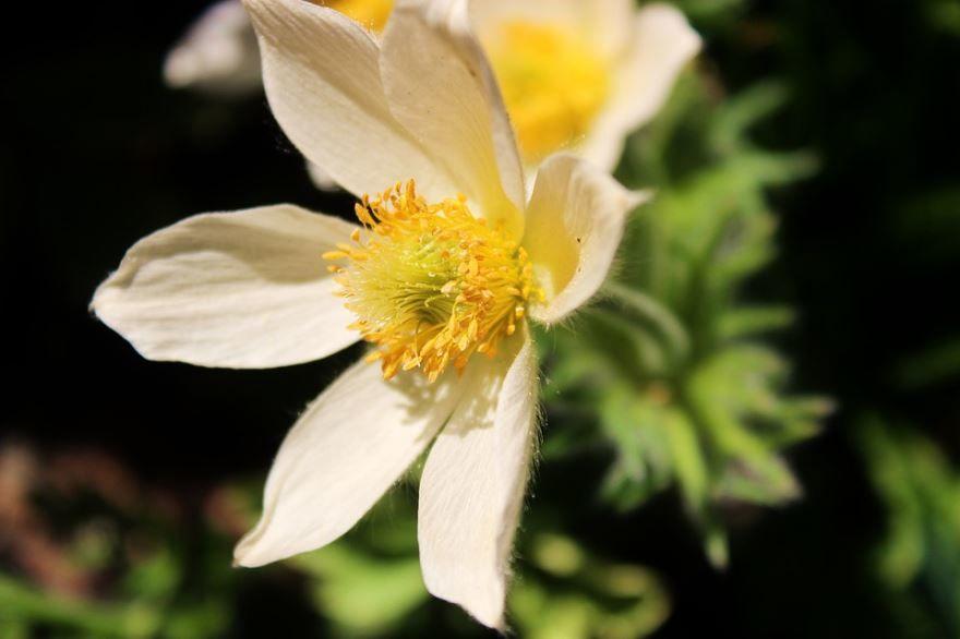 Осенние фото растения анемоны бесплатно