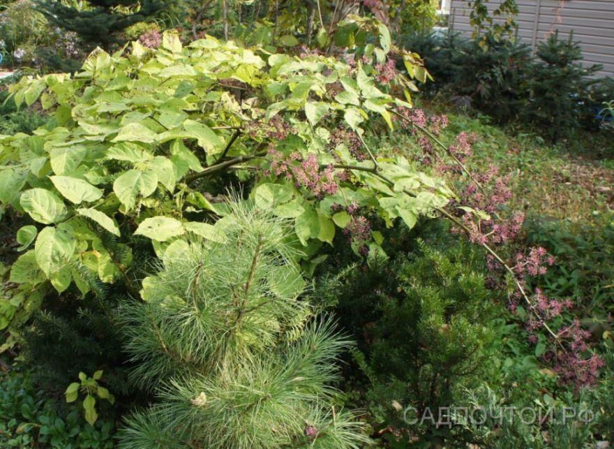 Фото растения аралии, обладающей лечебными свойствами