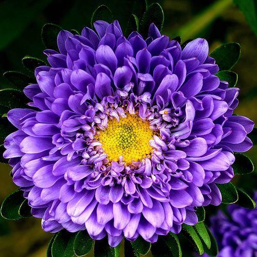 Скачать красивые фото цветка астры бесплатно