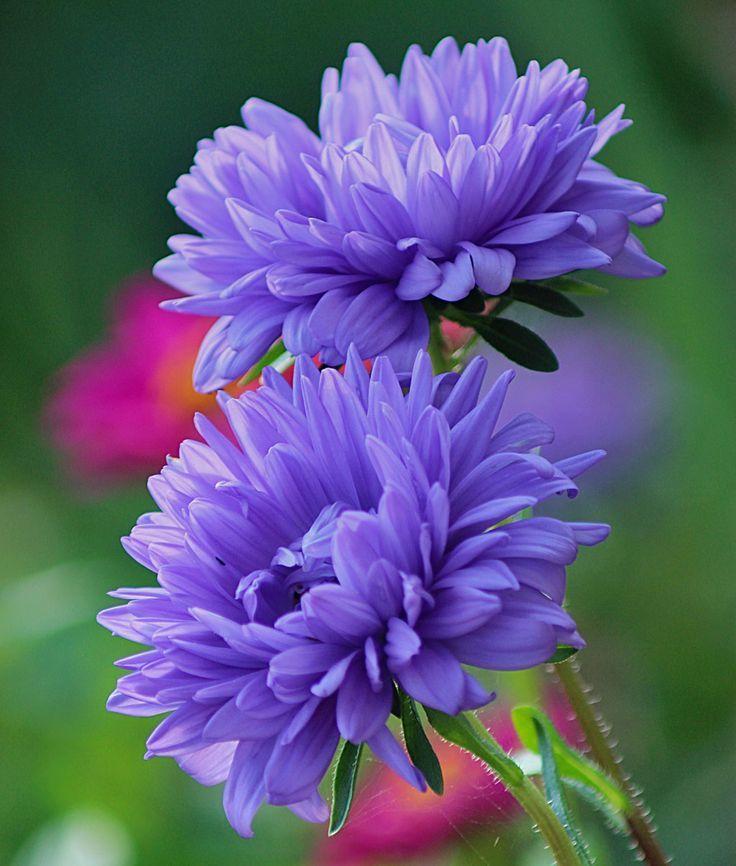 Фото многолетних цветов – красивых астр