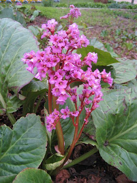 Фото лечебного растения бадан бесплатно