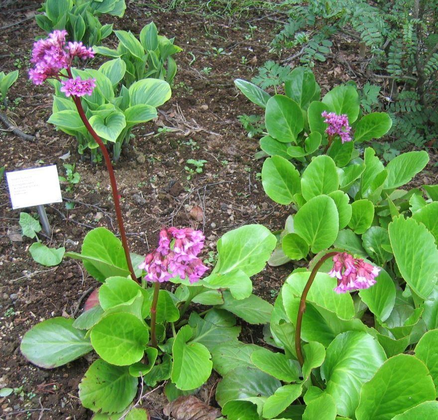 Скачать фото осеннего растения бадан, имеющего свои противопоказания