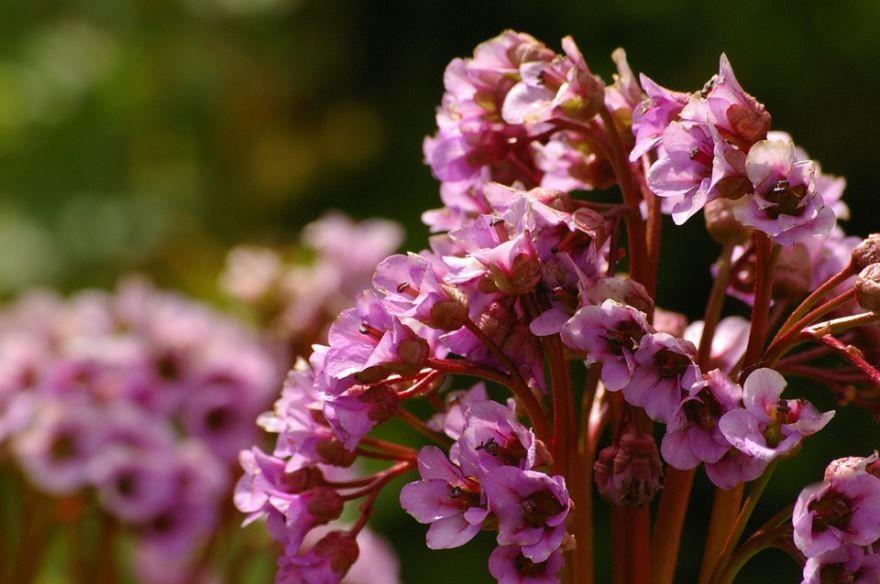 Фото травянистого цветка бадан бесплатно