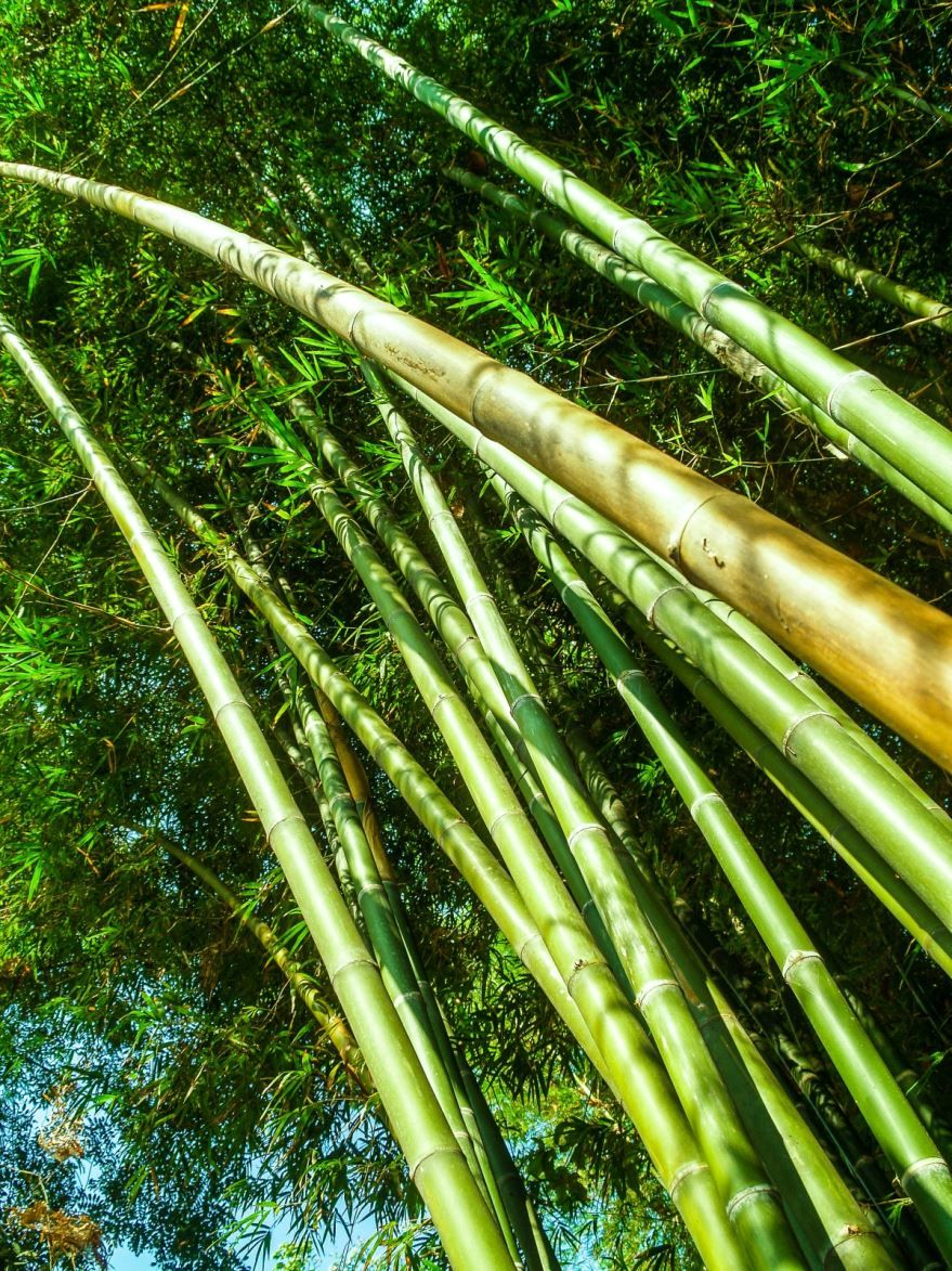 Фото стеблей растения бамбук в хорошем качестве