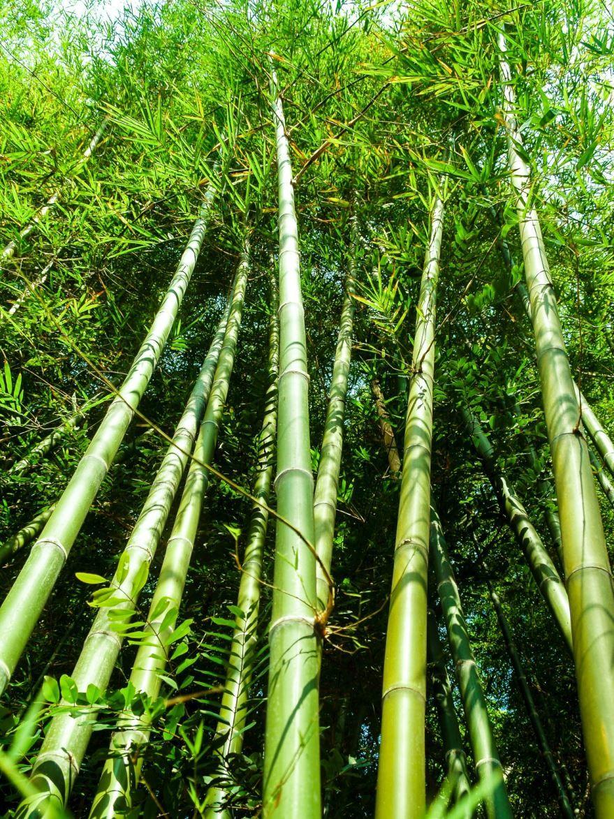 Фото растения бамбук, из Москвы онлайн
