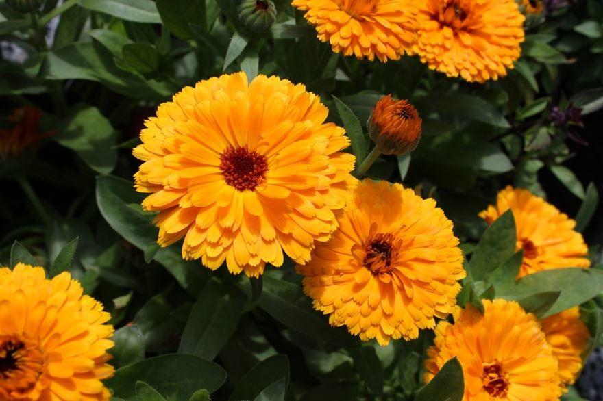 Фото цветов бархатцев, выращенных в открытом грунте