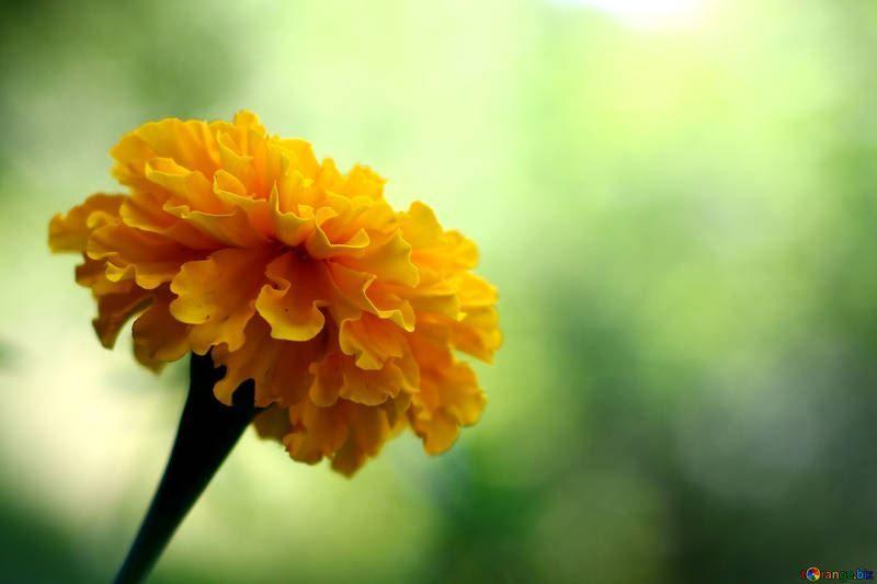 Фото и картинки лечебного растения - бархатцев бесплатно