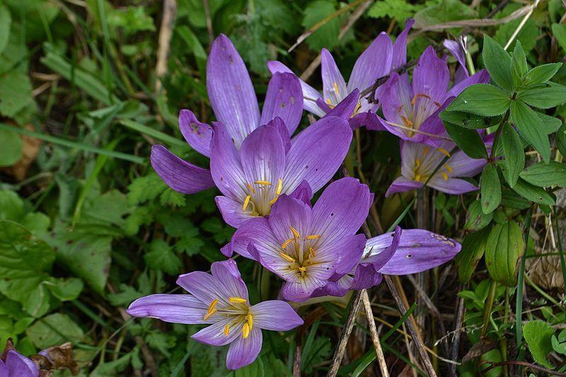 Фото осенних цветов безвременника