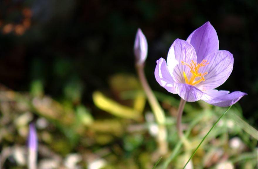 Смотреть фото цветка – безвременника бесплатно