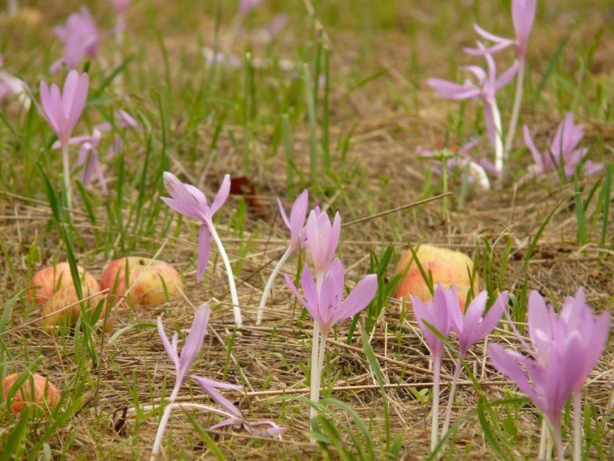 Купить фото великолепных цветов – безвременника? Скачайте бесплатно