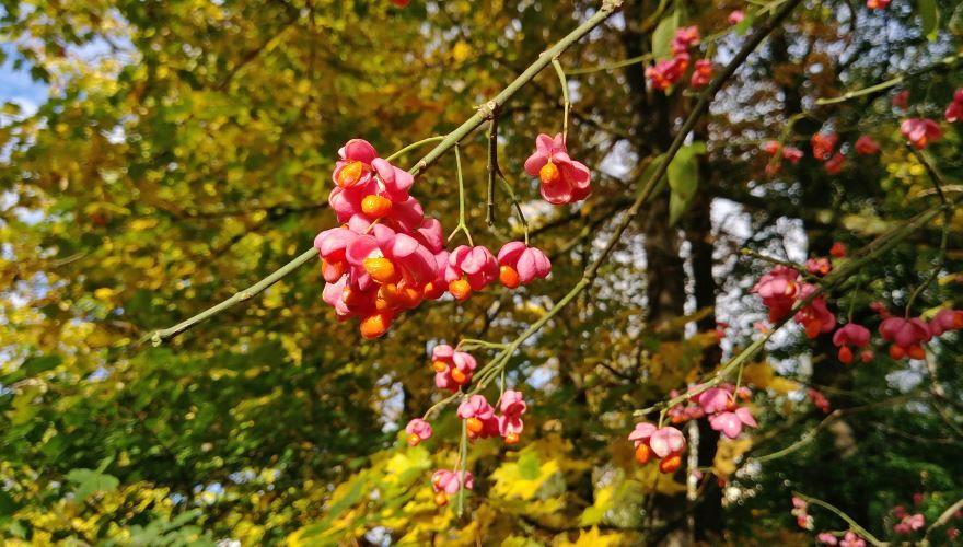 Скачать фото растения бересклет бесплатно