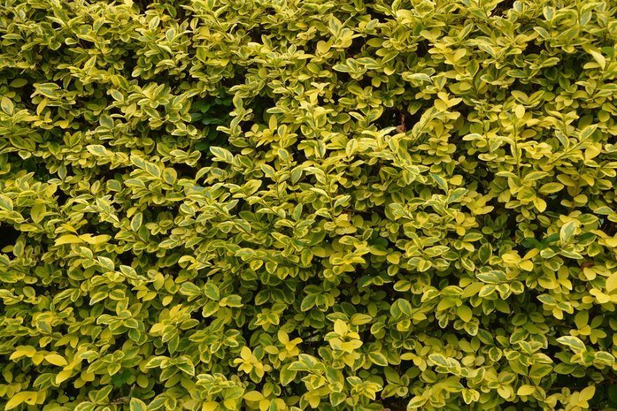 Смотреть фото обыкновенной бирючины