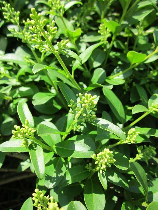 Скачать растение японской бирючины в хорошем качестве
