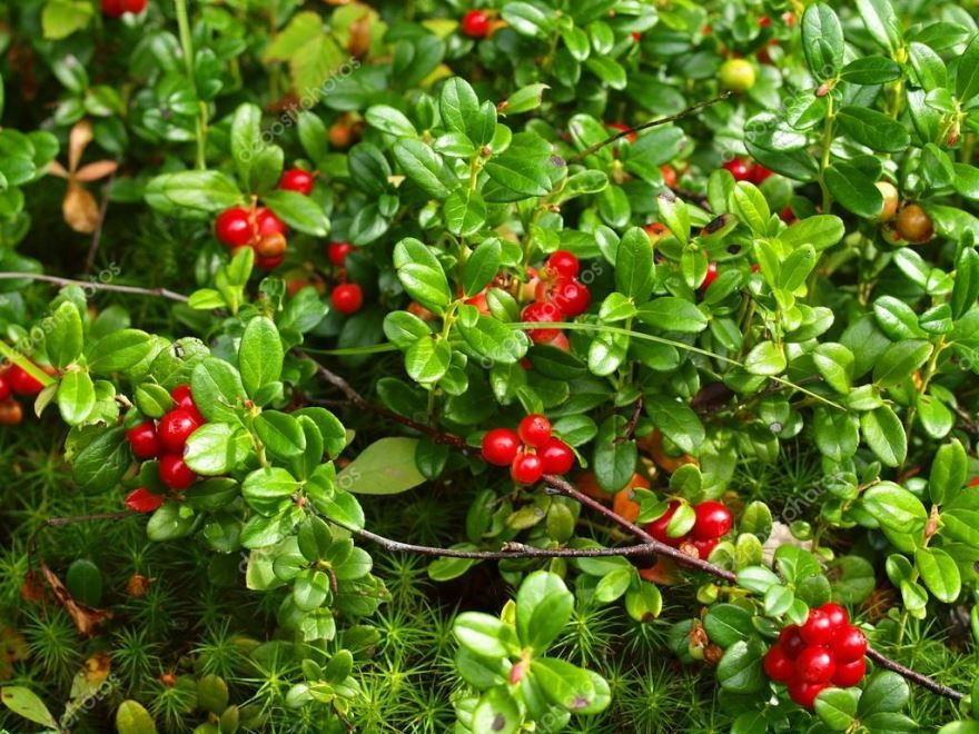 Листья брусники и ягоды