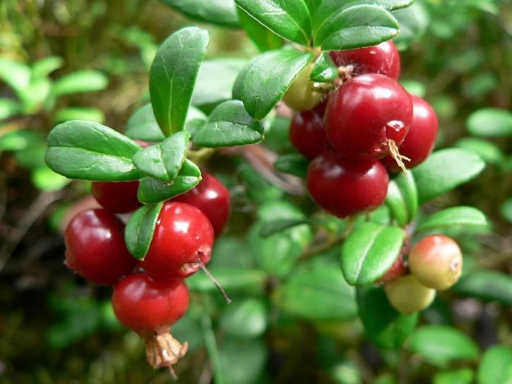Скачать фото полезных для здоровья ягод брусники