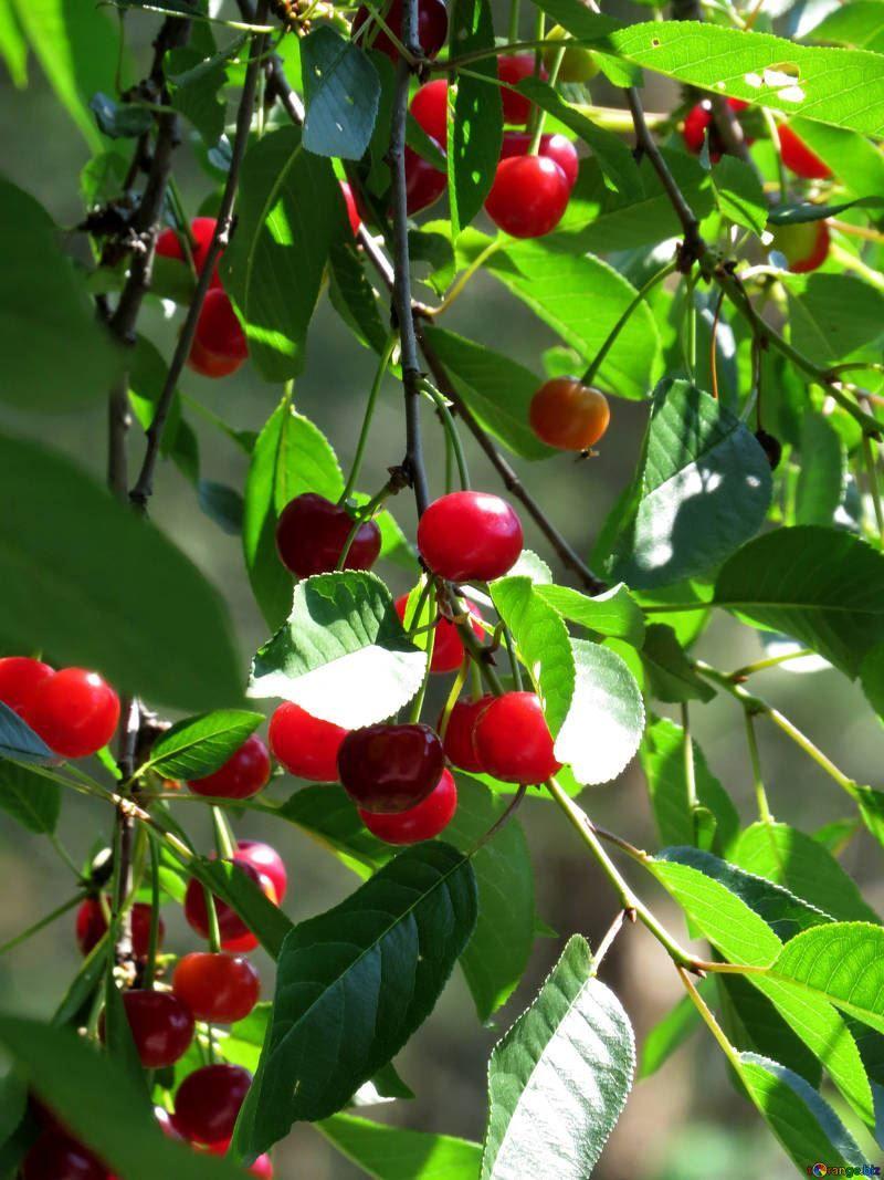 Смотреть фото ягод вишни для вкусных рецептов