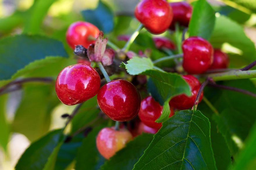 Фото ягод вишни для вкусных рецептов домашнего пирога с вишней