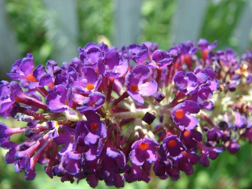 Смотреть красивые фото растения буддлеи блю
