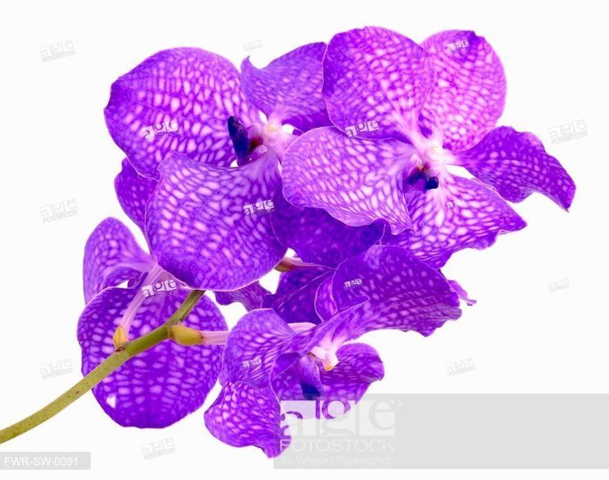 Купить фото великолепных цветов – ванды? Скачайте бесплатно