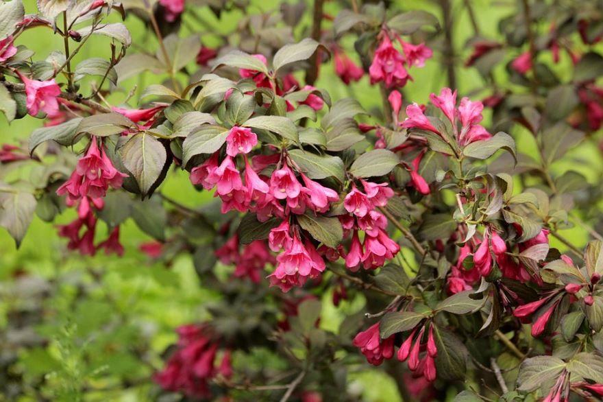 Скачать фото осеннего цветка – вейгелы