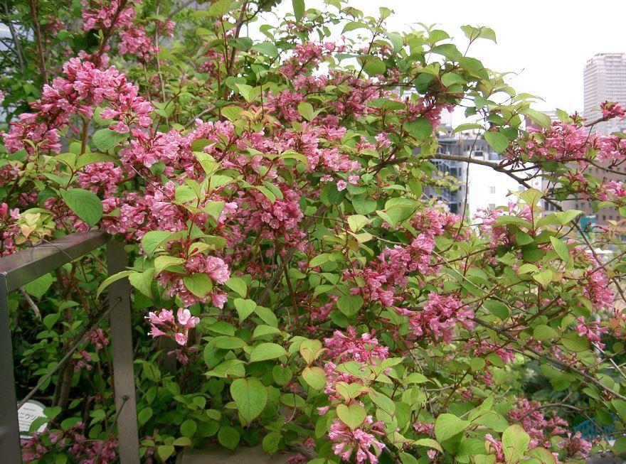Фото цветков вейгелы, выращенной в открытом грунте