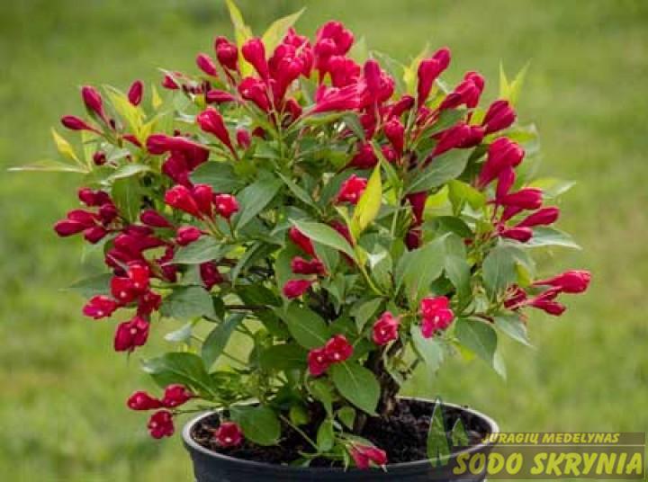 Фото цветущей вейгелы бристоль в хорошем качестве