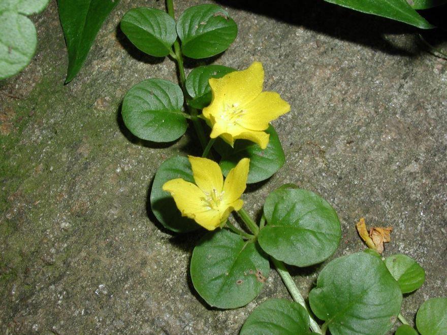 Фото растения вербейник, выращенного в открытом грунте
