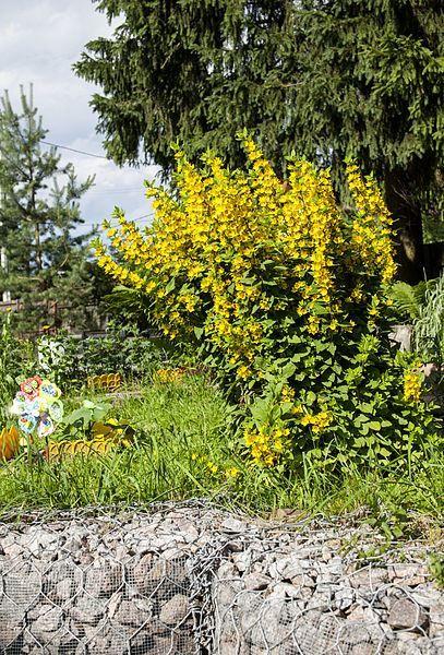 Фото растения вербейник, для создания ландшафтного дизайна