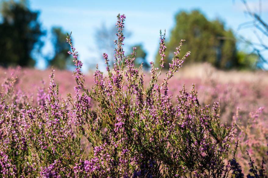 Фото осеннего растения – вереск онлайн