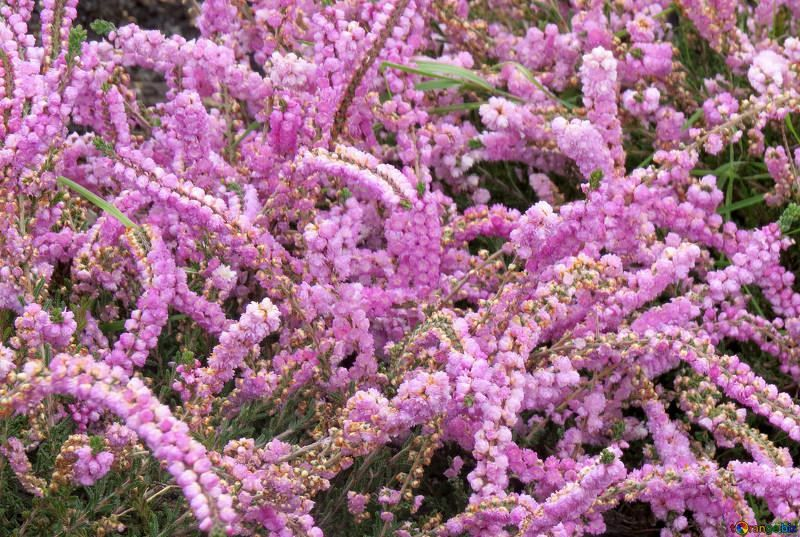 Смотреть фото растения вереск, выращенного в открытом грунте