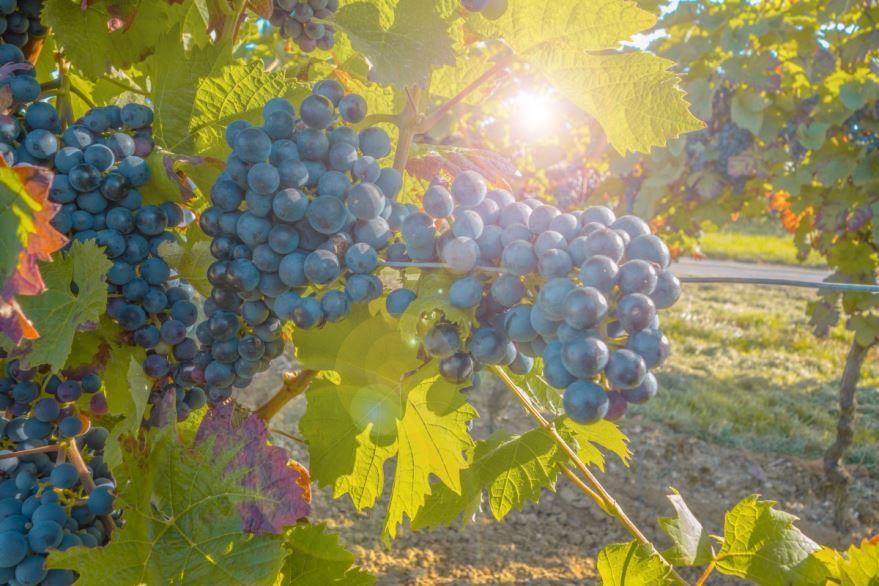Фото винограда, выращенного в домашних условиях