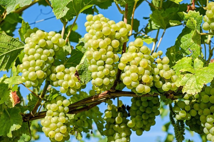 Фото растения виноград для осенний рецептов домашнего вина