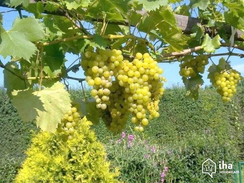 Скачать фото осеннего растения – домашнего винограда